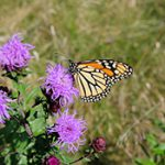 Monarch butterfly on flowers.