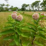 Common milkweed growing in the rough.