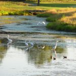 Egrets and ducks in the pond.