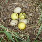 Golf balls mixed in with eggs in a ducks nest.